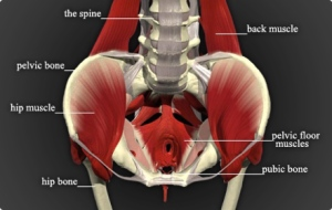 pelvic floor pic for blog
