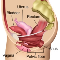 superficial and deep pelvic floor muscles