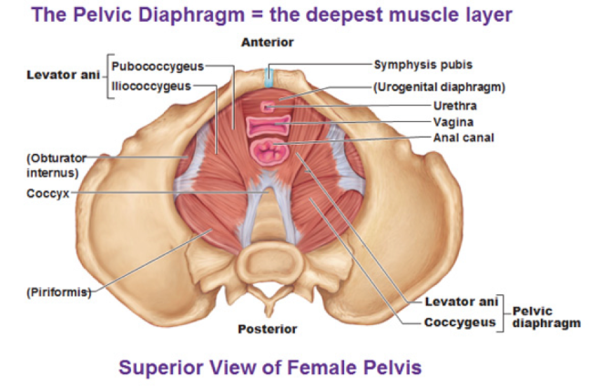 a. Pelvic floor strengthening, with supervised education. Recent research has concluded that a well adhered to exercise program for six to eight weeks will reduce prolapse one-half to a whole grade.