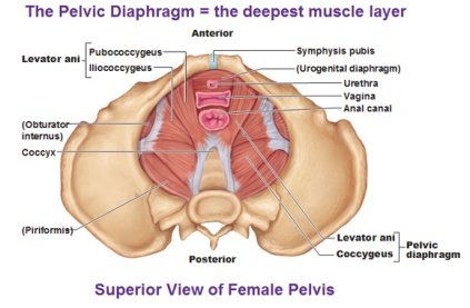 Deep pelvic floor muscles