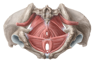 external pf muscles